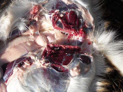 broken deer pelvic bone