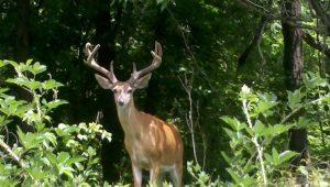 cwd, deer culling