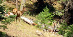 elk hunting strategies