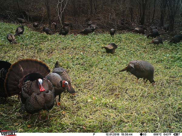 turkey food plot